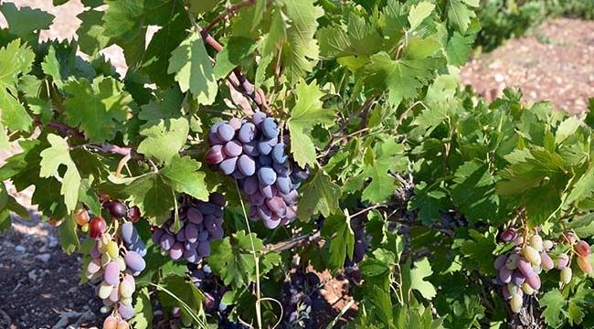 Kilis'te Üzüm Mevsimi Başladı